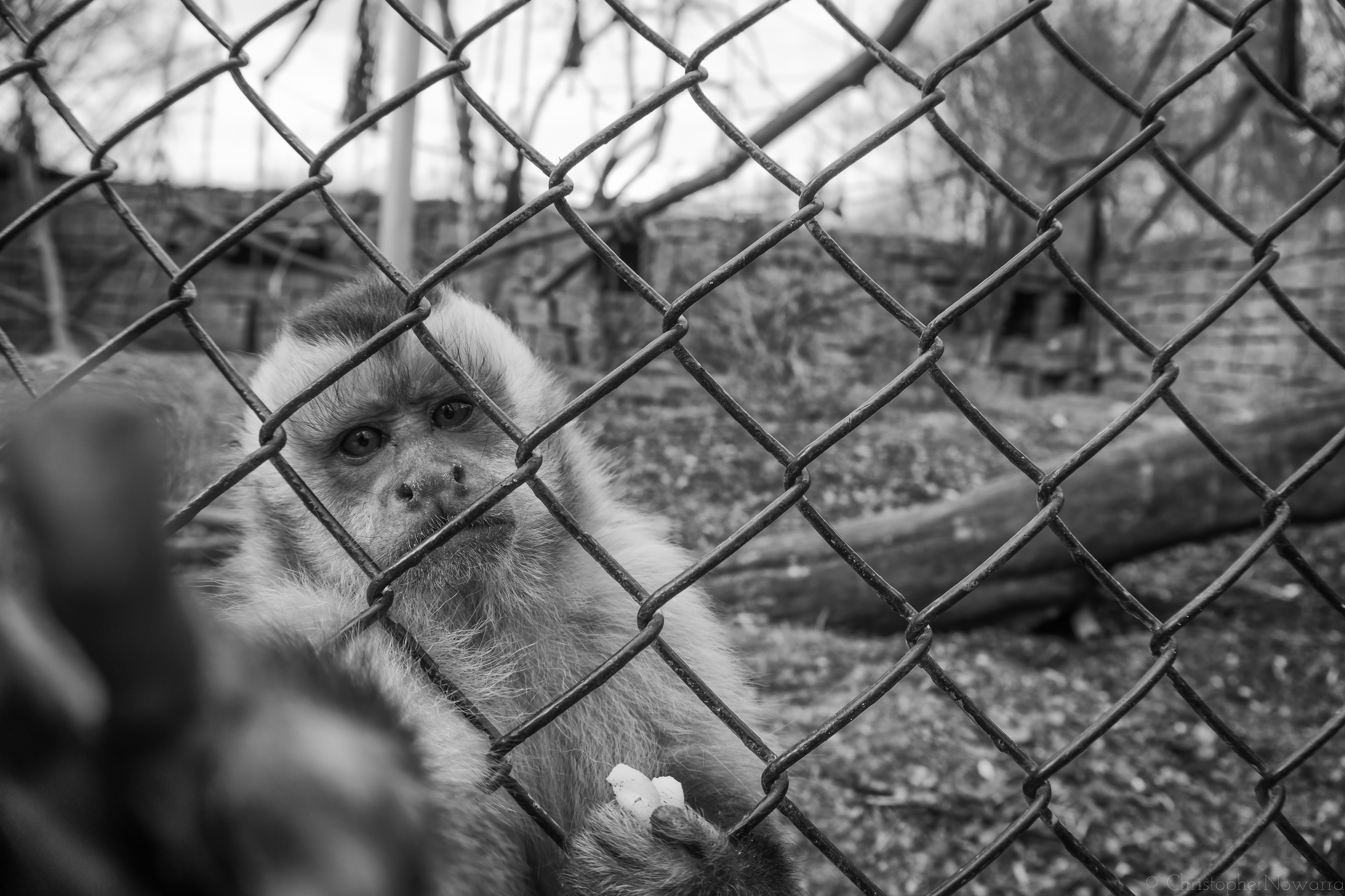 Monkey Behind Wire Mesh Fence