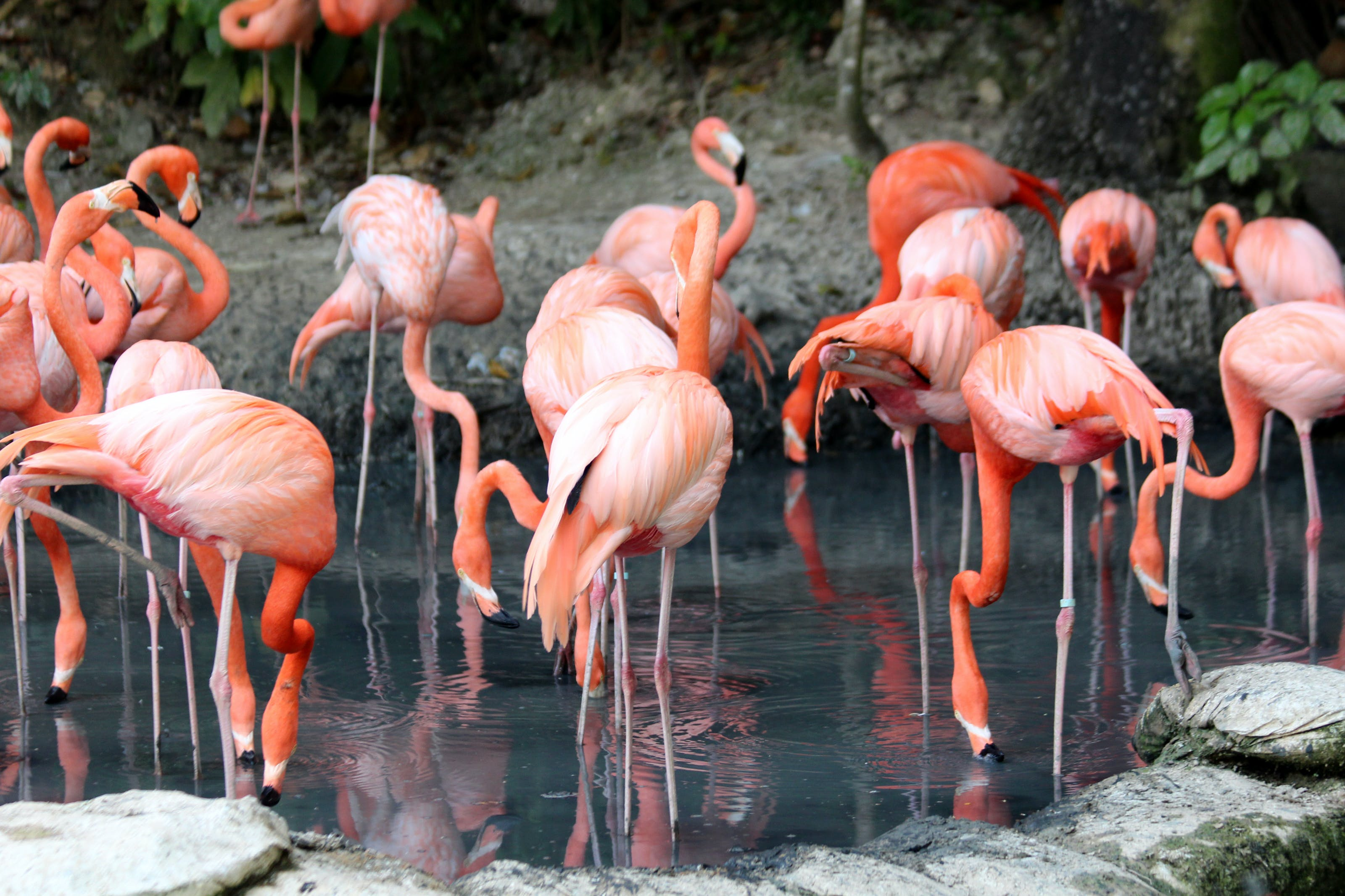 Flock Of Flamingo