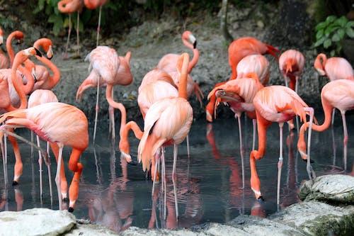 Kostnadsfri bild av damm, djur, djurpark, flamingo
