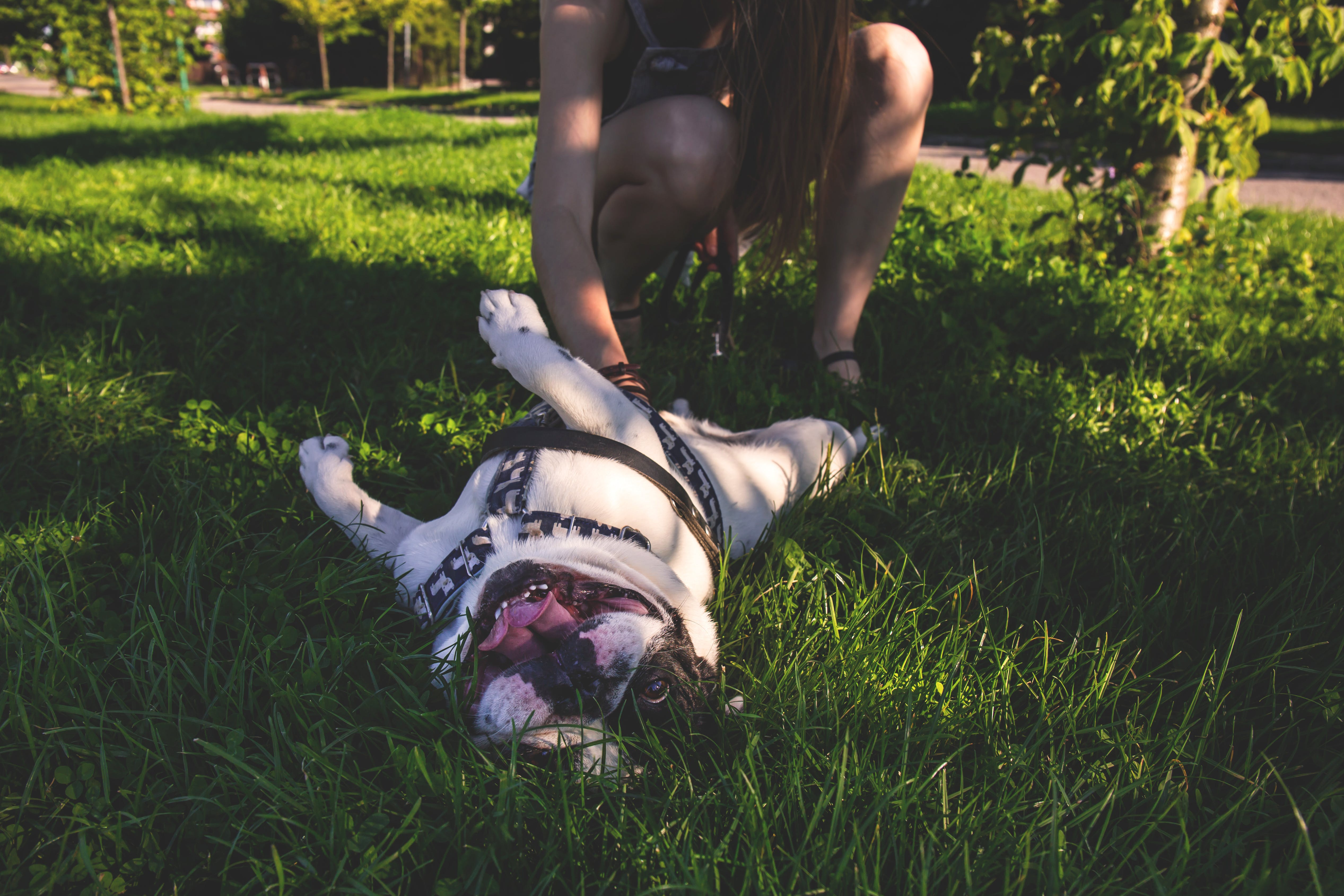 White and Brown American Bulldog Playing With Owner