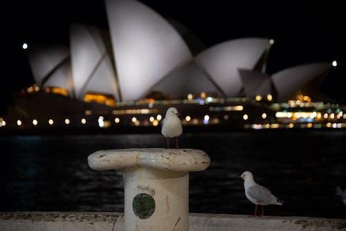 歌剧院, 海鷗, 街, 雪梨歌劇院 的 免费素材照片