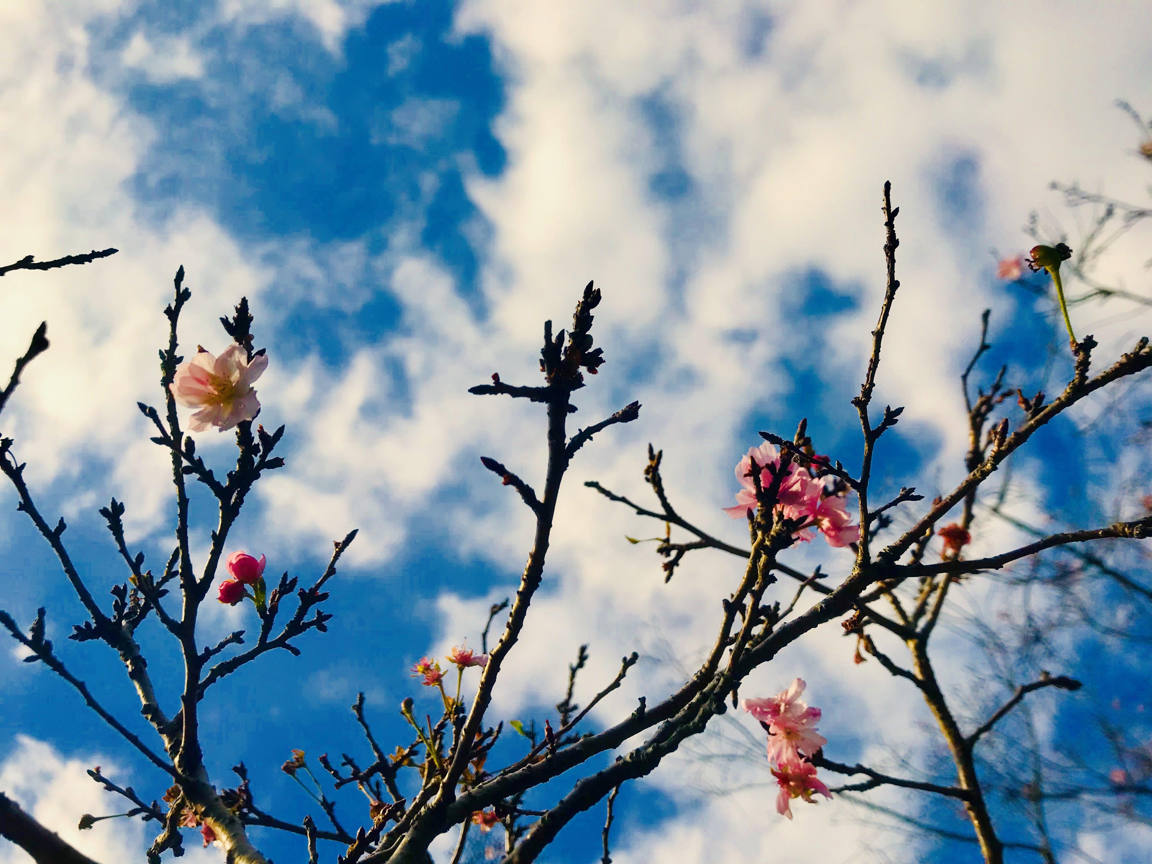 Free stock photo of sakura