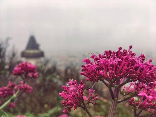 Foto stok gratis Austria, berkabut, bunga, bunga merah jambu
