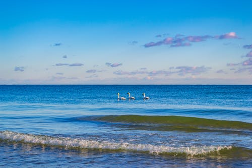 Three Swans In Body Of Water