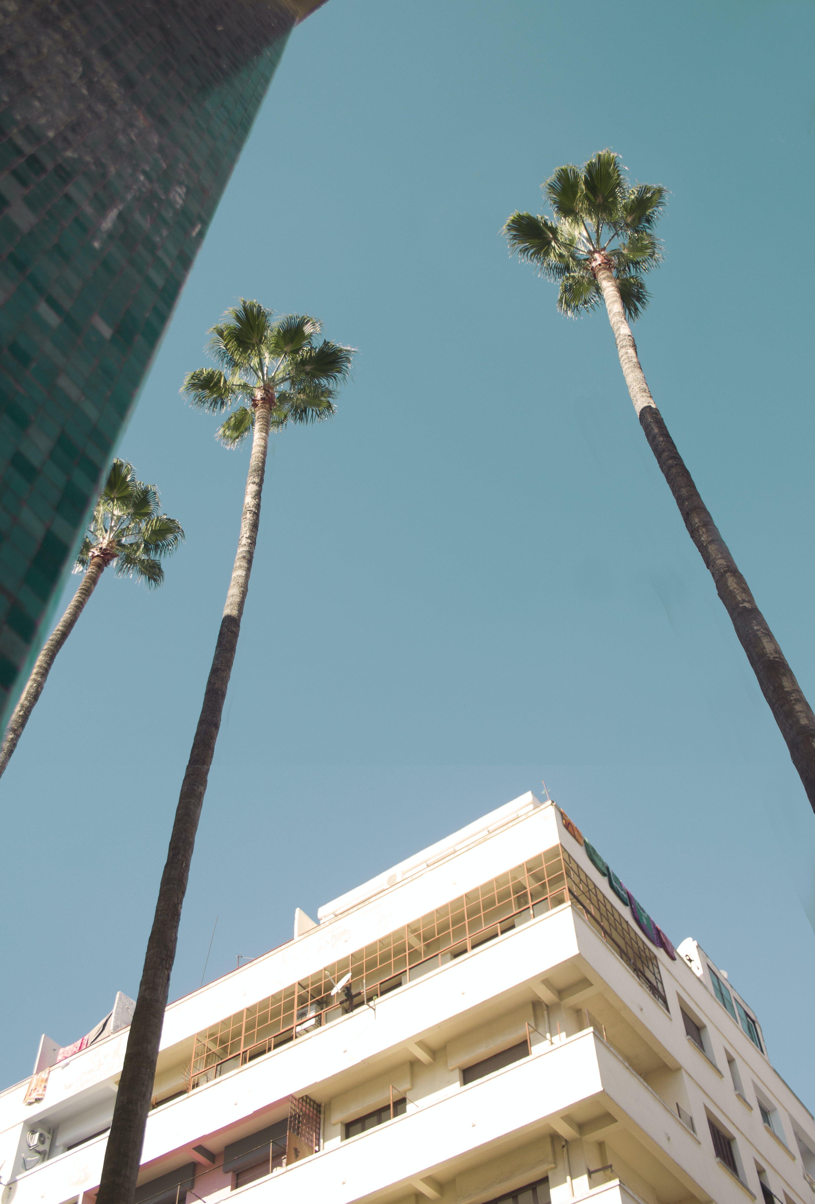 Imagine de stoc gratuită din albastru metalic, cer senin, Chamaerops, frunze de palmier
