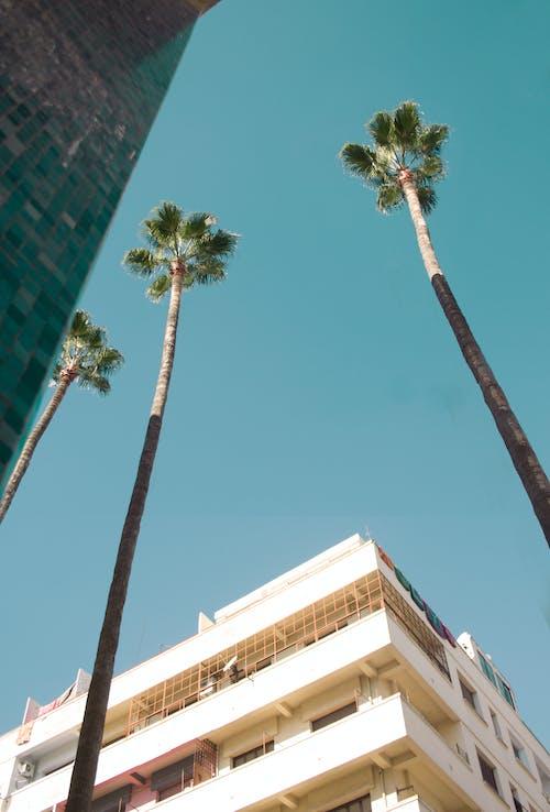 Kostenloses Stock Foto zu fächerpalme, klarer himmel, orange, palme