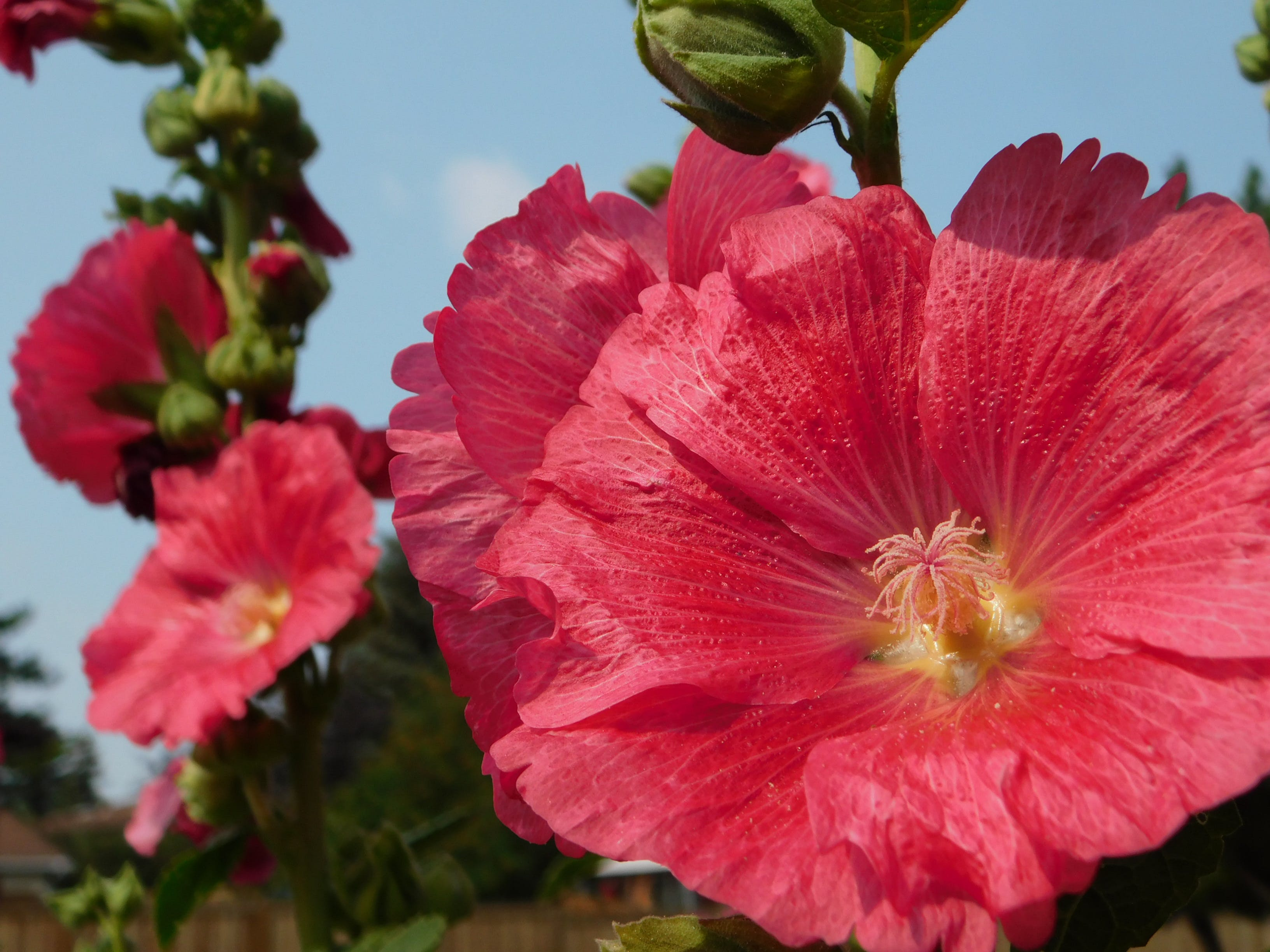 Free stock photo of Hollyhocks grow over 5 Ft. tall