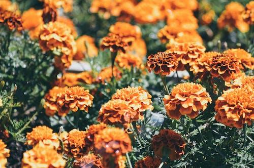 Kostnadsfri bild av apelsin, blommor, blomning, botanisk