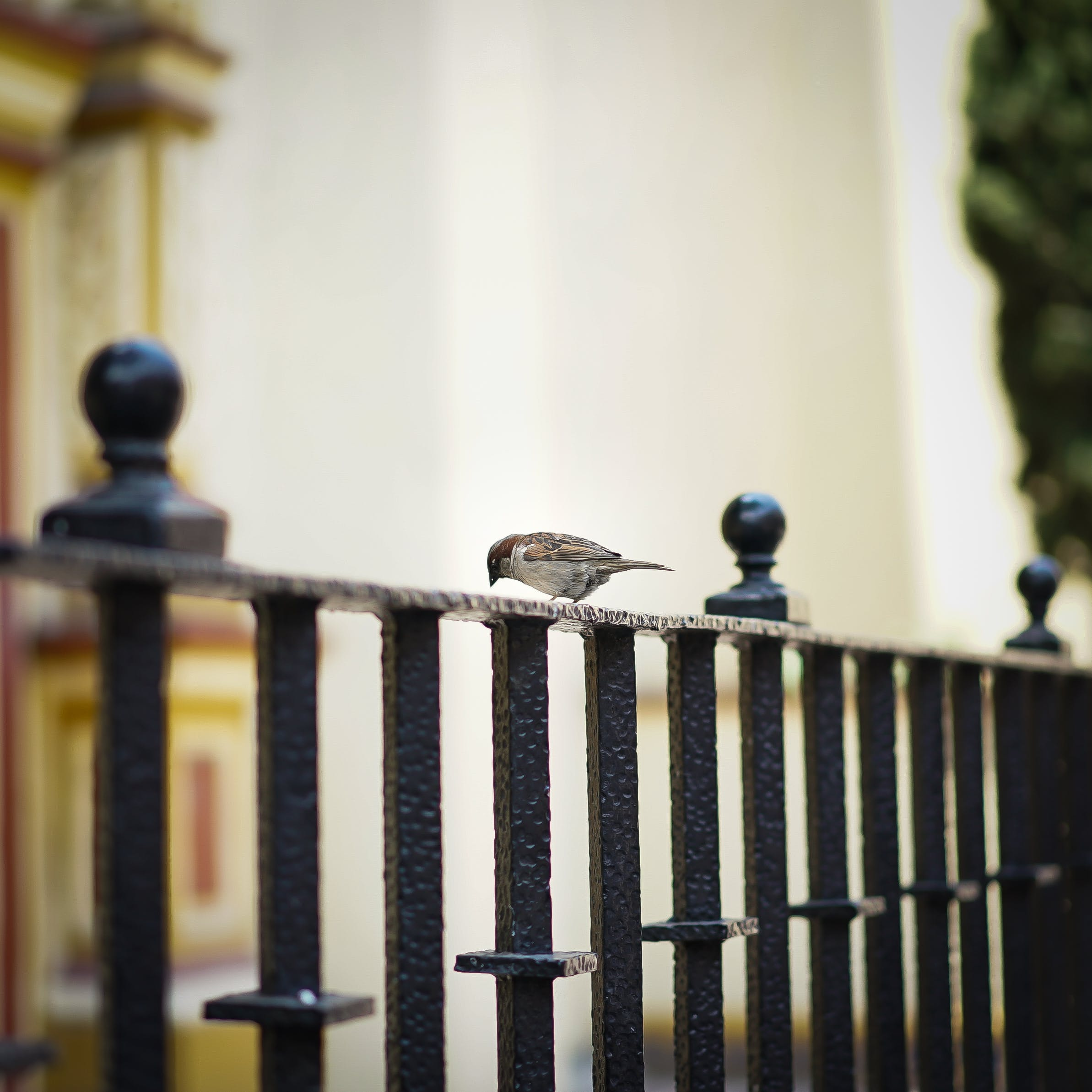 Selective Focus Photography of Sparrow Perching on Metal Fence