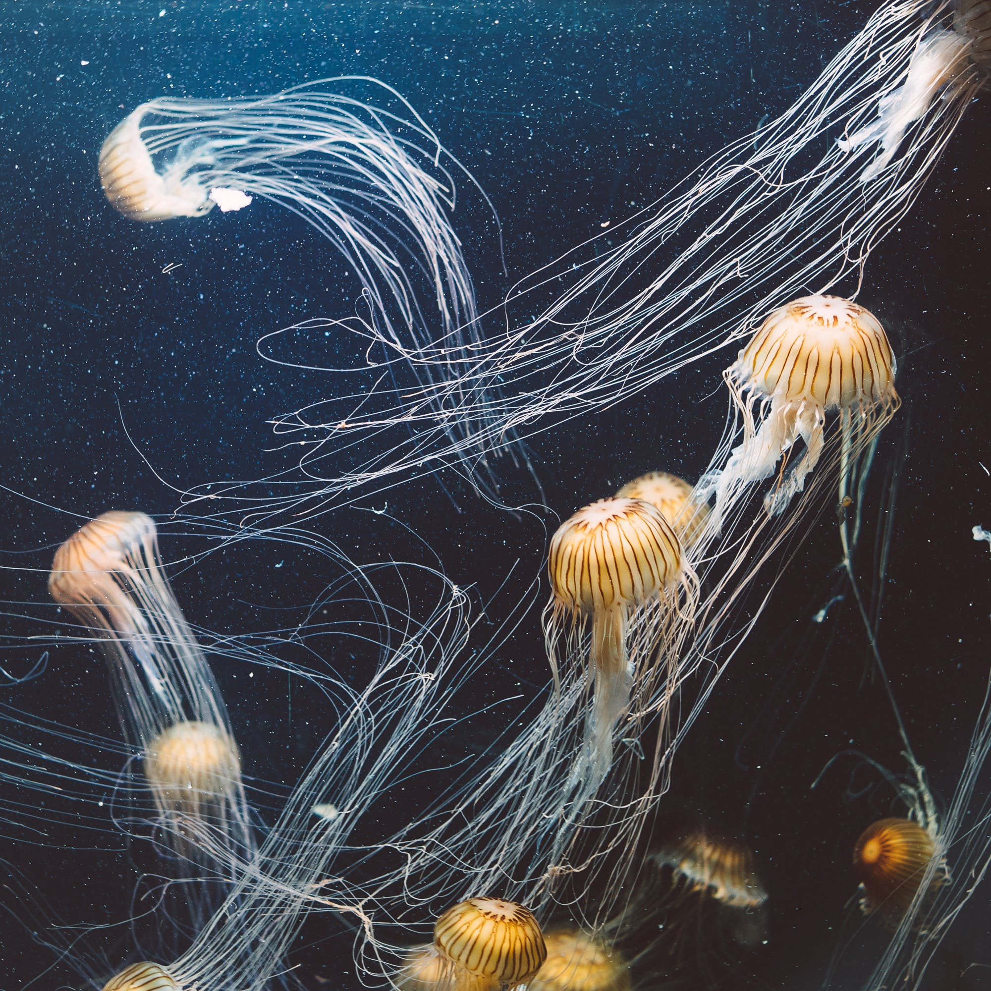 School of Jellyfish Underwater