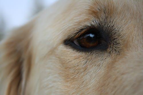 Photos gratuites de chien, golden retriever, yeux marrons