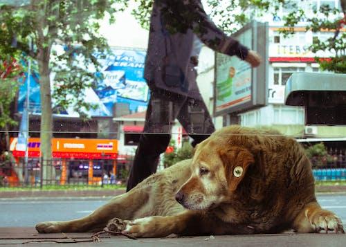 Foto d'estoc gratuïta de beåÿiktaåÿ, carrer, gos, Istanbul