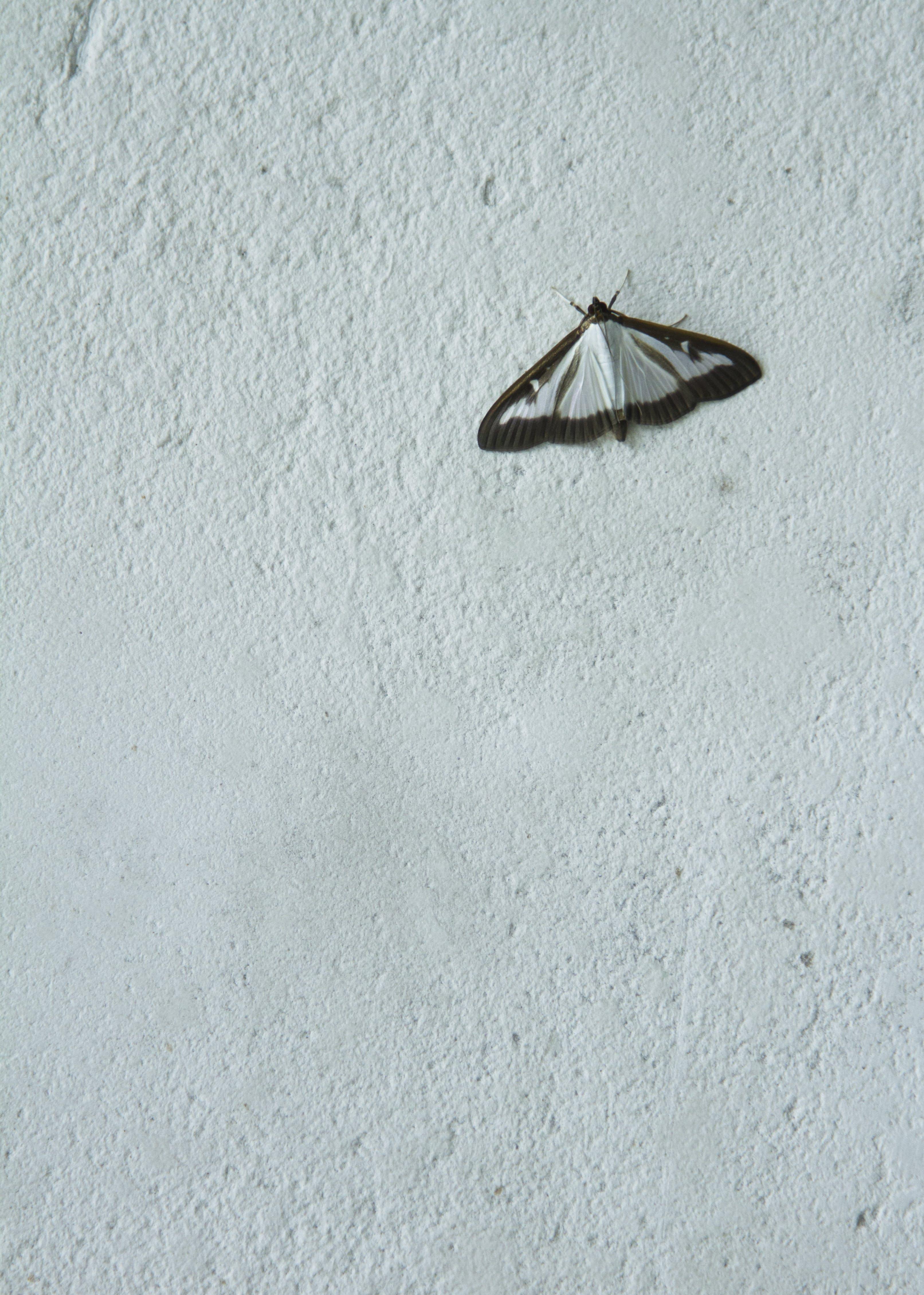 Free stock photo of butterfly, parpali, wall