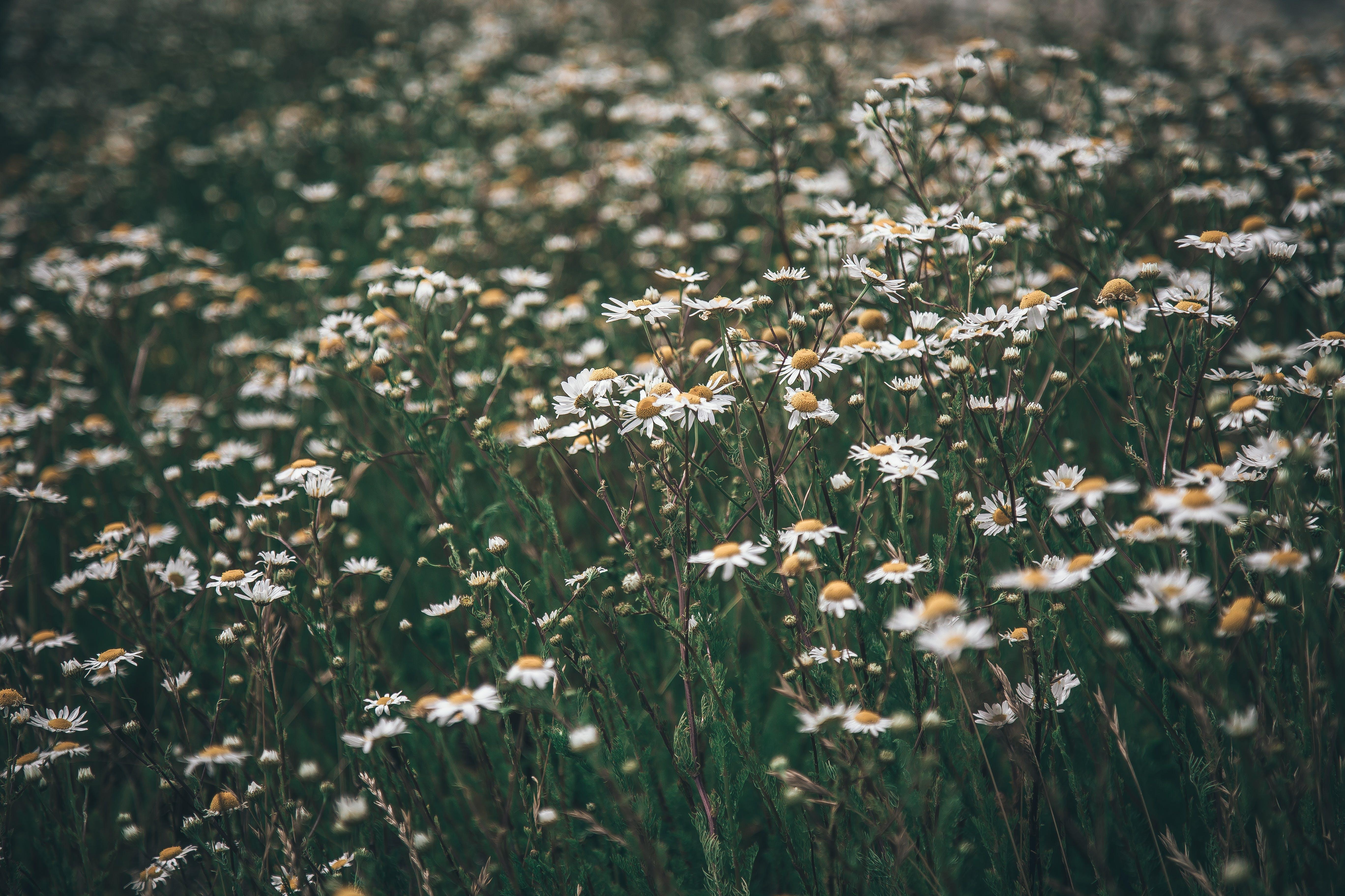 White Common Daisy Flowers