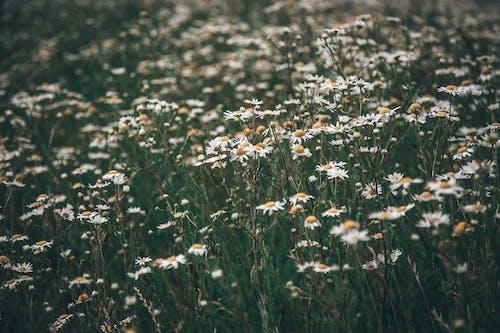 Immagine gratuita di bocciolo, campo, fiore, fiori