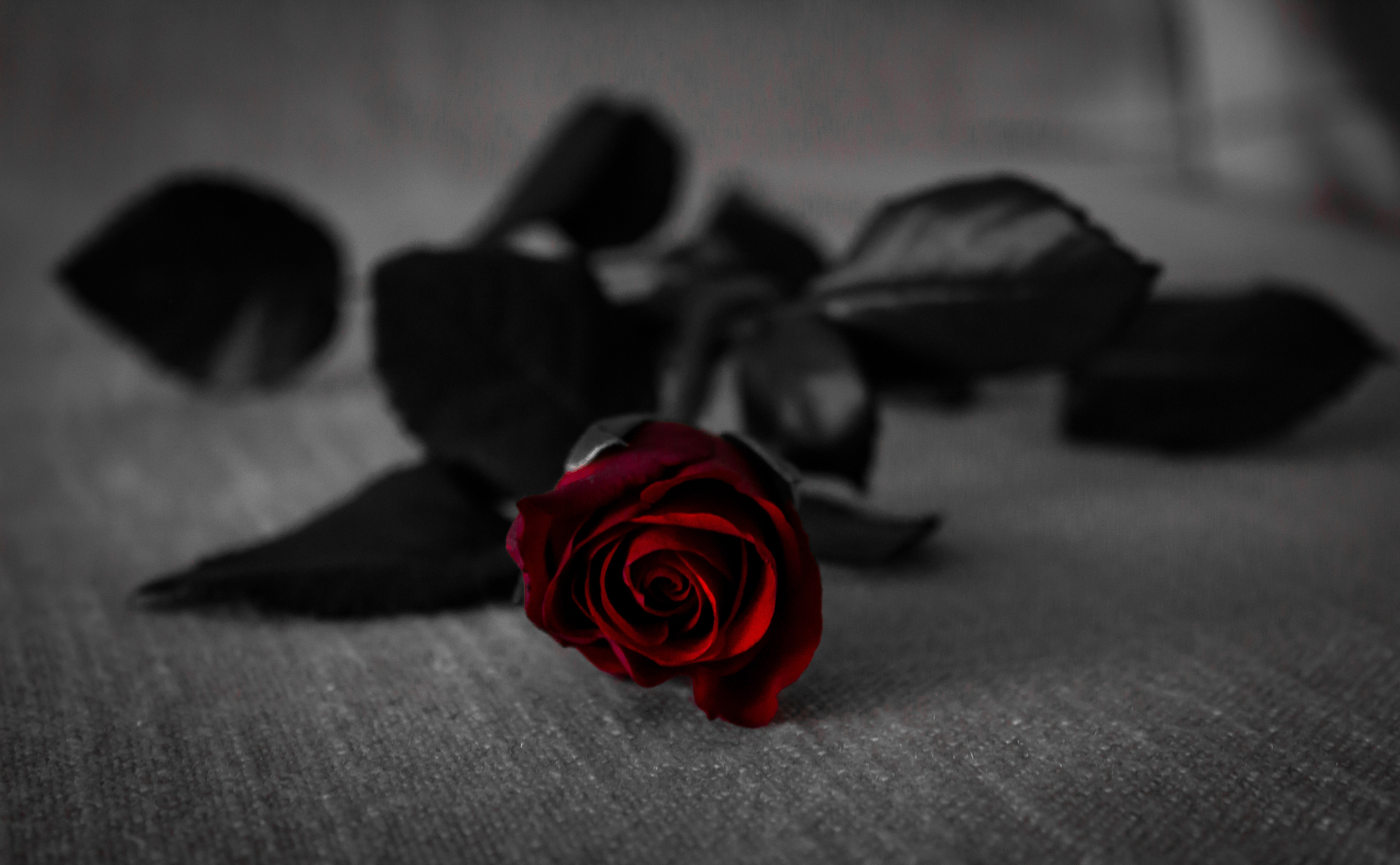 Red rose with black leaves on grey textile · free stock photo