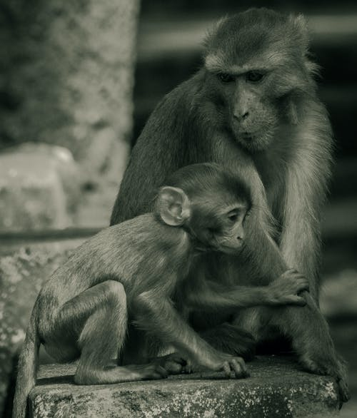 Ảnh lưu trữ miễn phí về con khỉ, khỉ con, làm mẹ, người yêu động vật