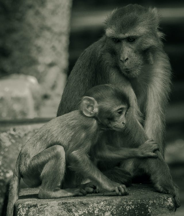 догляд, любитель тварин, Мавпа