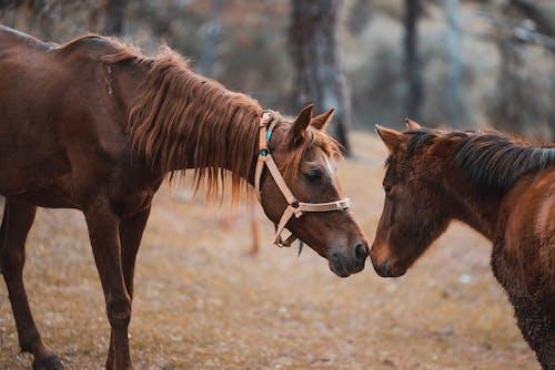 Kostenloses Stock Foto zu bauernhof, farm, mähne, pferde