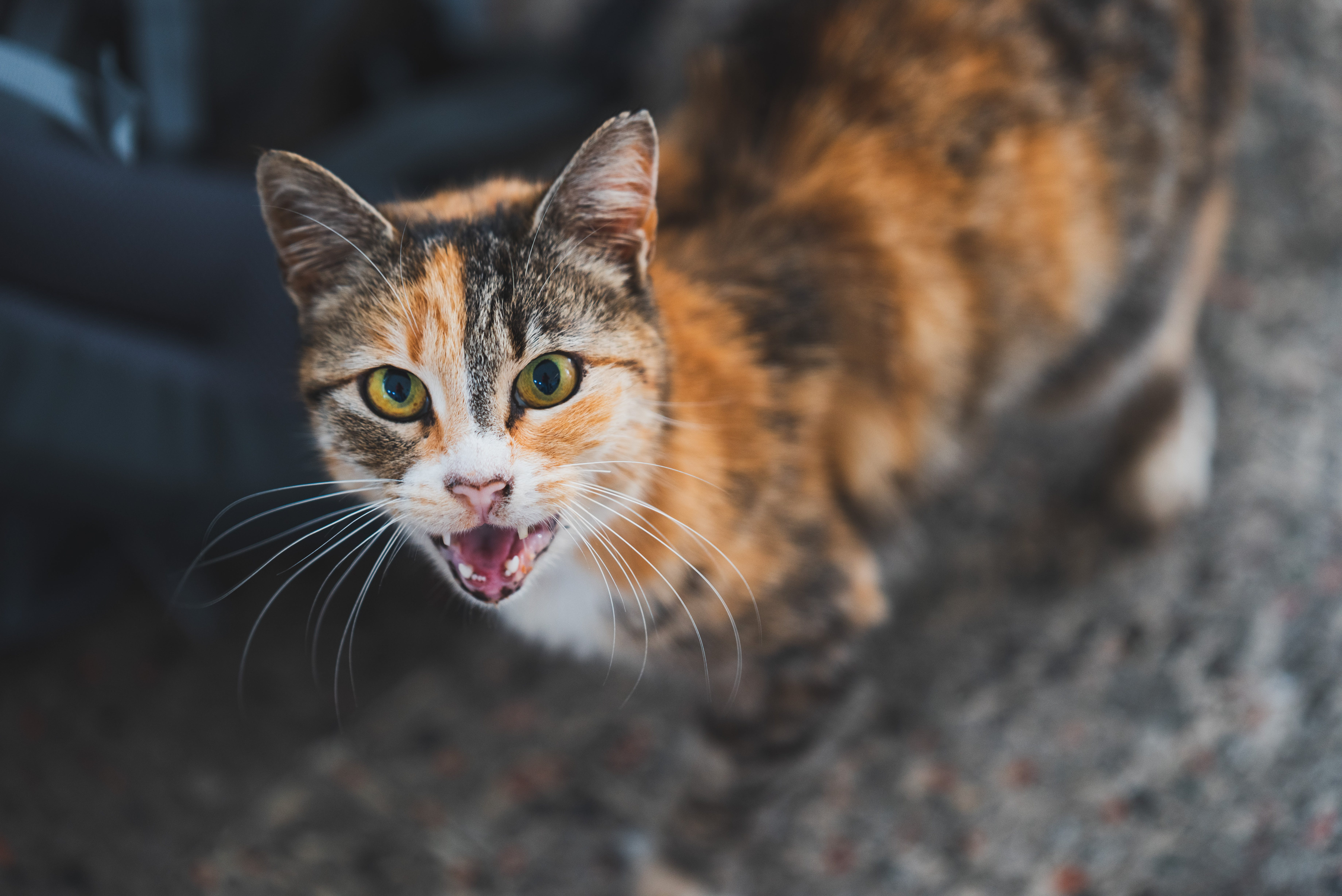 Free stock photo of aggressive, angry, animal, cat