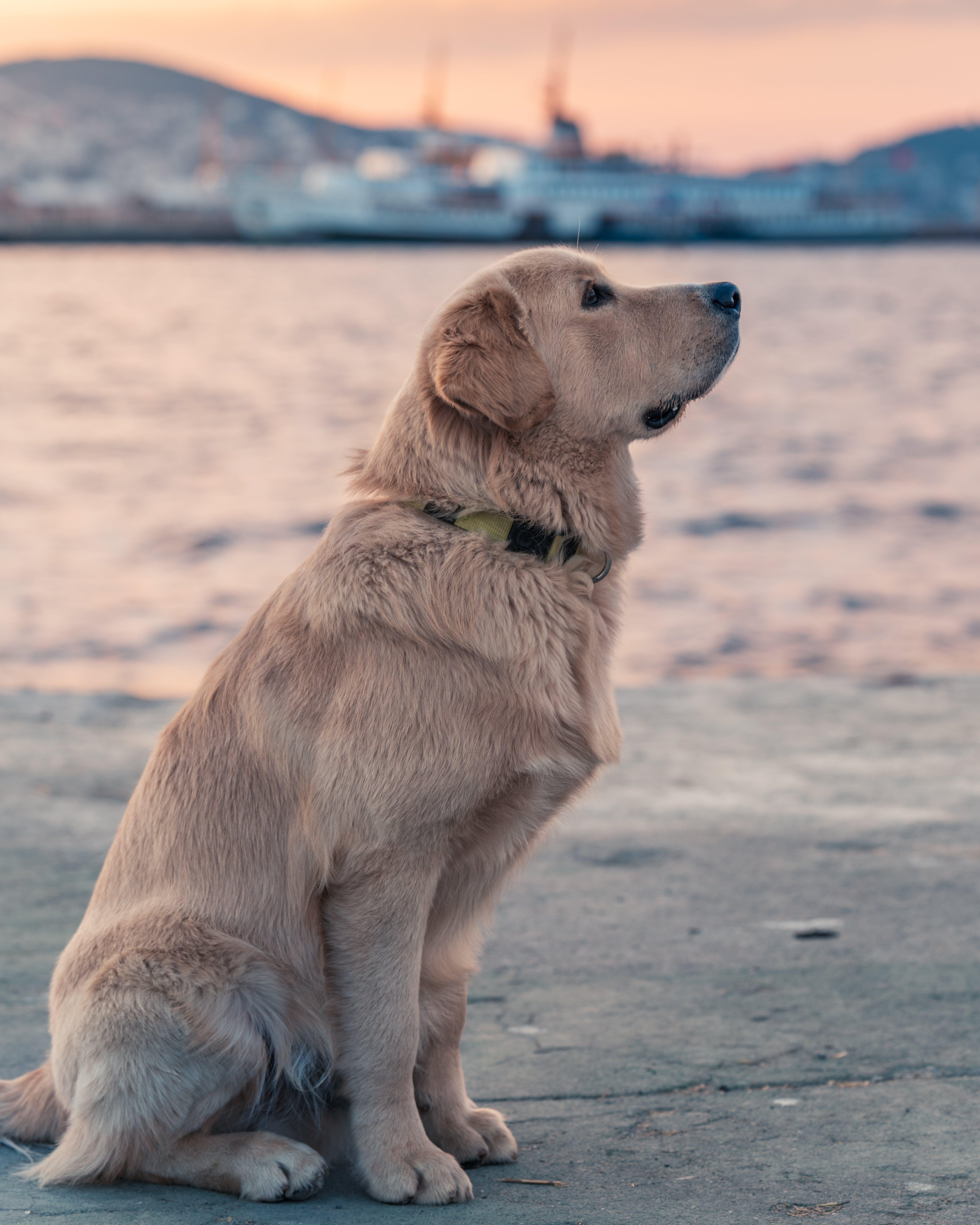 Labrador Retrieve Near Body Of Water