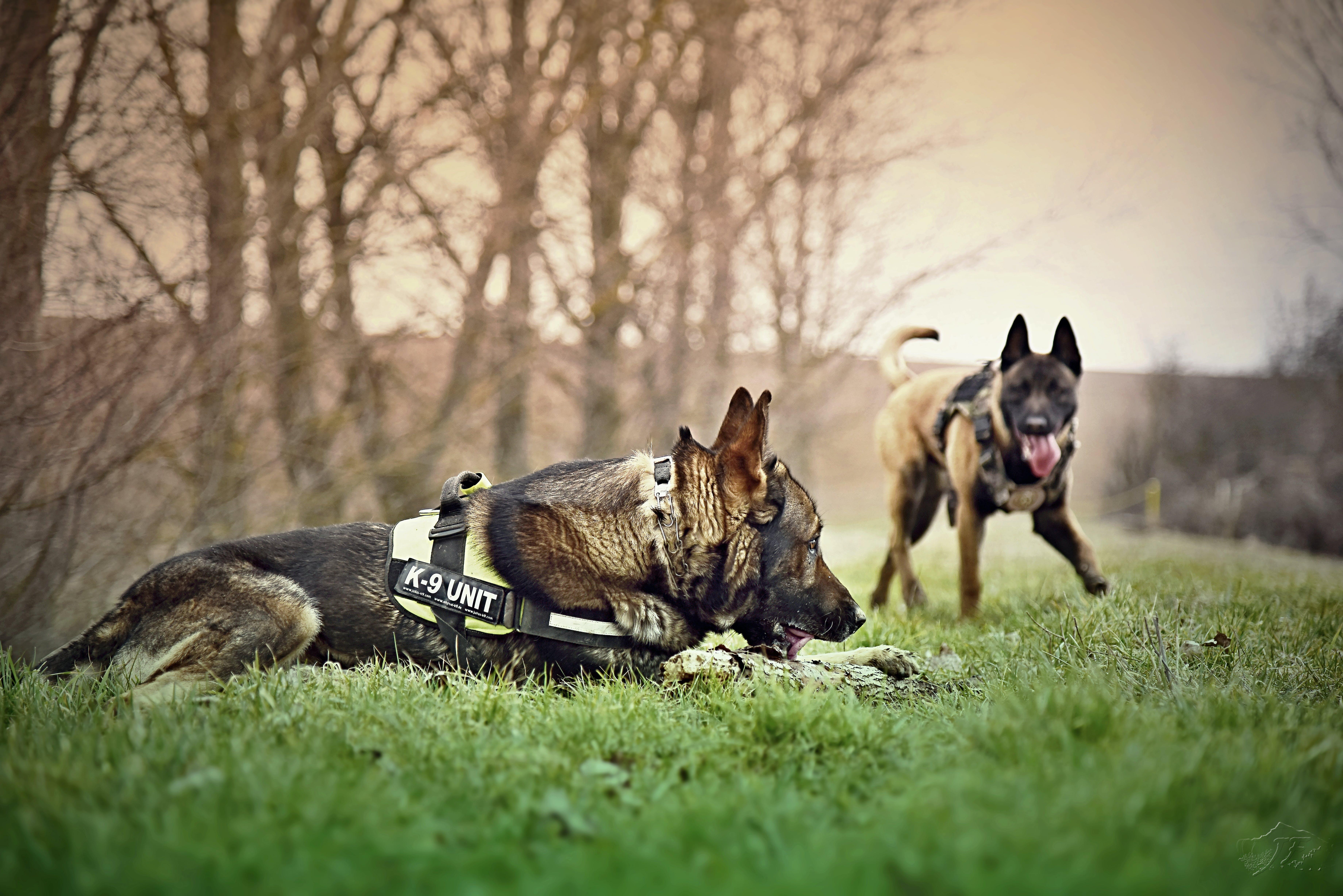 belgian malinois, dog friends, dogs