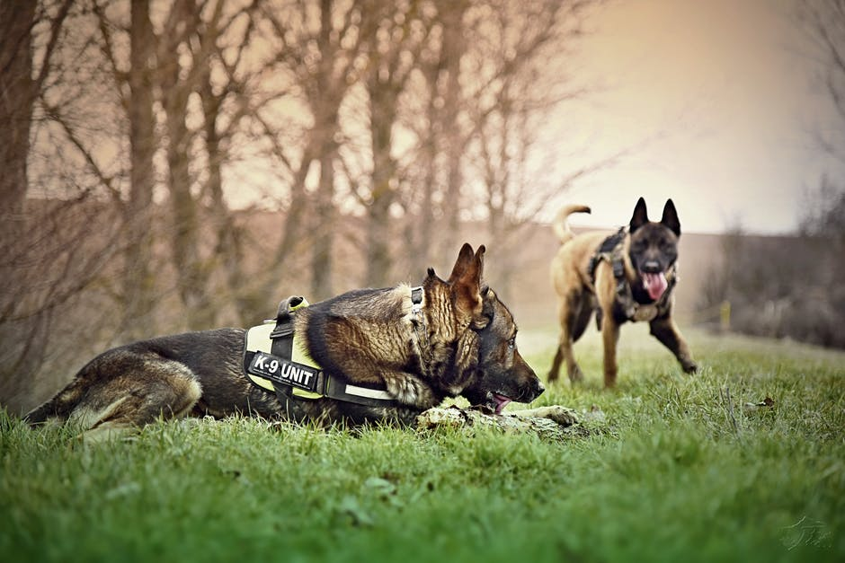 belgian malinois, dog friends, dogs
