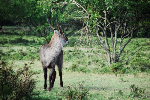 Gray and Black Long Coat Antelope on Green Grass Behind Green Tree