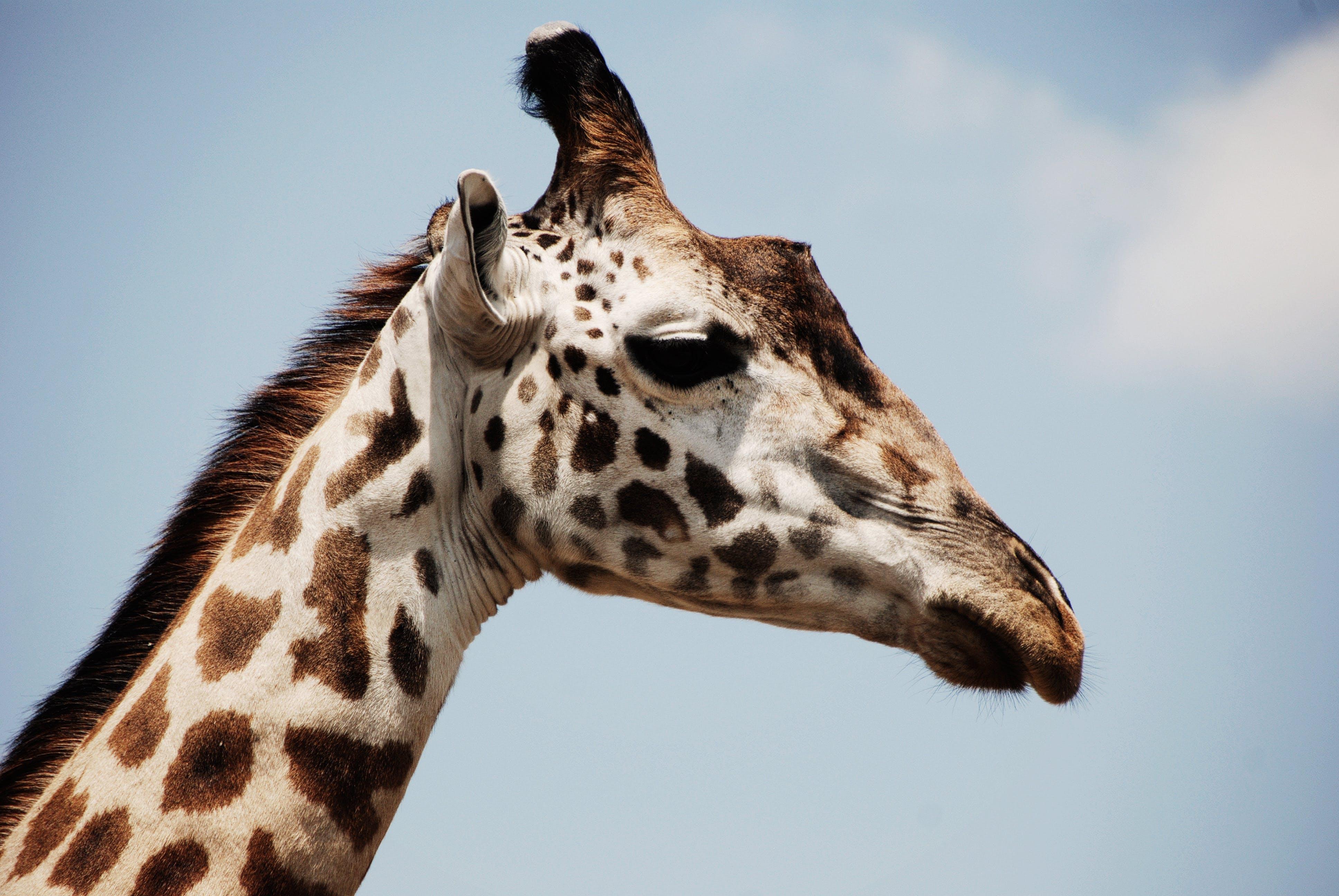 White and Brown Giraffe