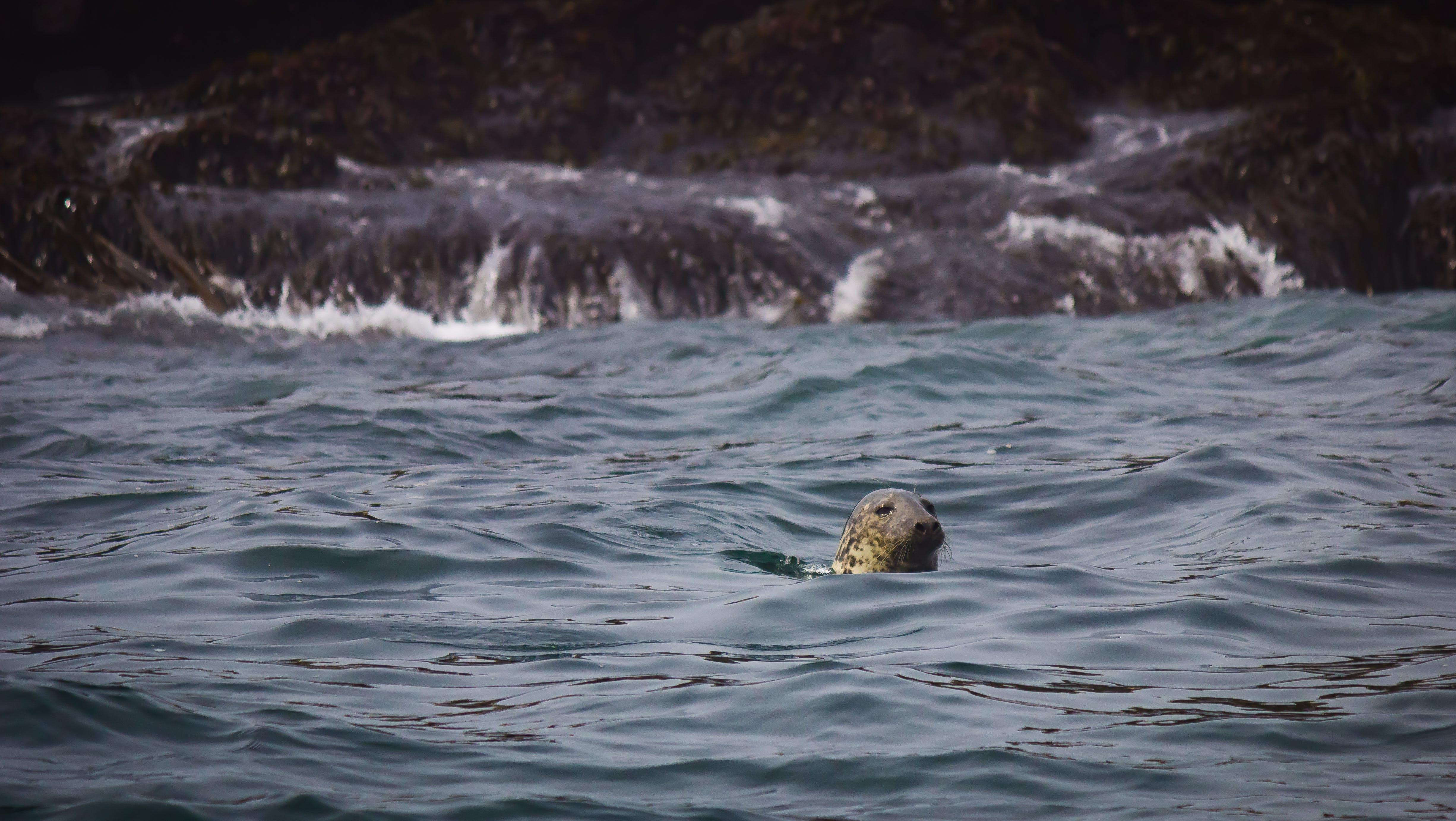 Foto profissional grátis de água, animal, beira-mar, foca