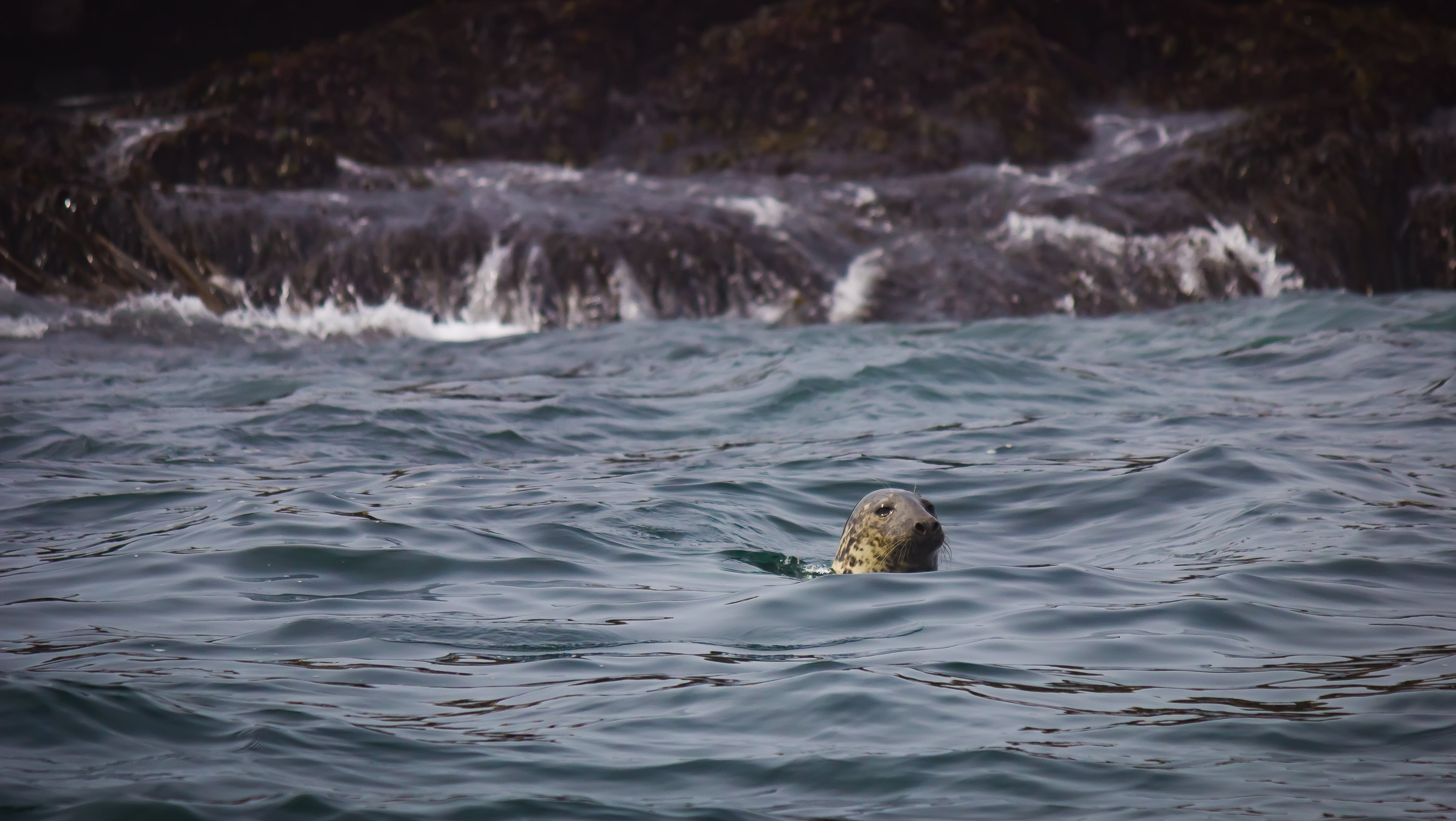 Brown Seal Swimming