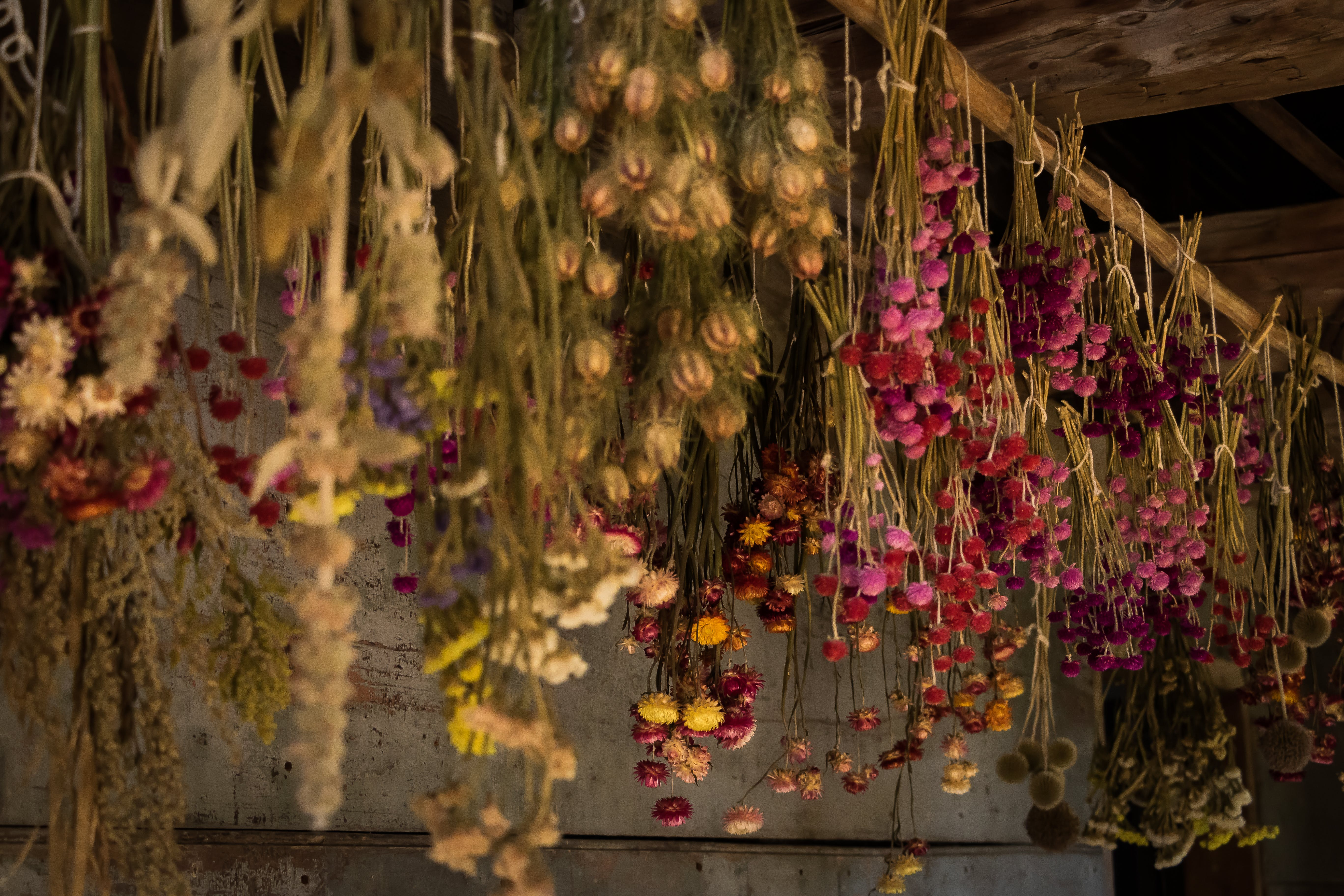 Free stock photo of dried flowers