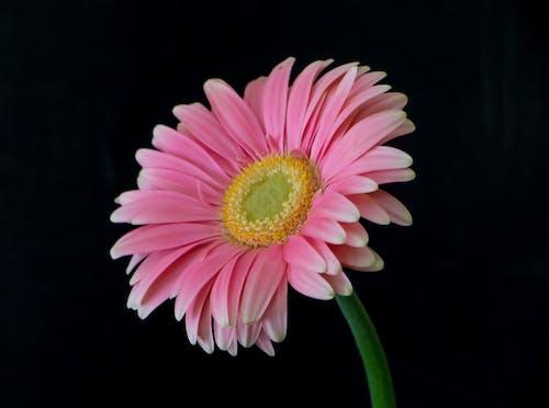 คลังภาพถ่ายฟรี ของ ดอกเดซี