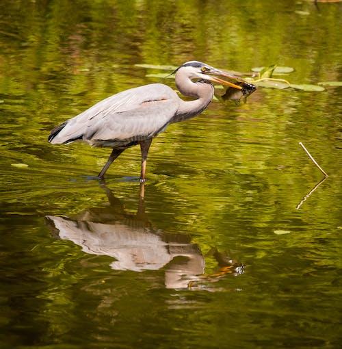 คลังภาพถ่ายฟรี ของ นกกระสาปลา