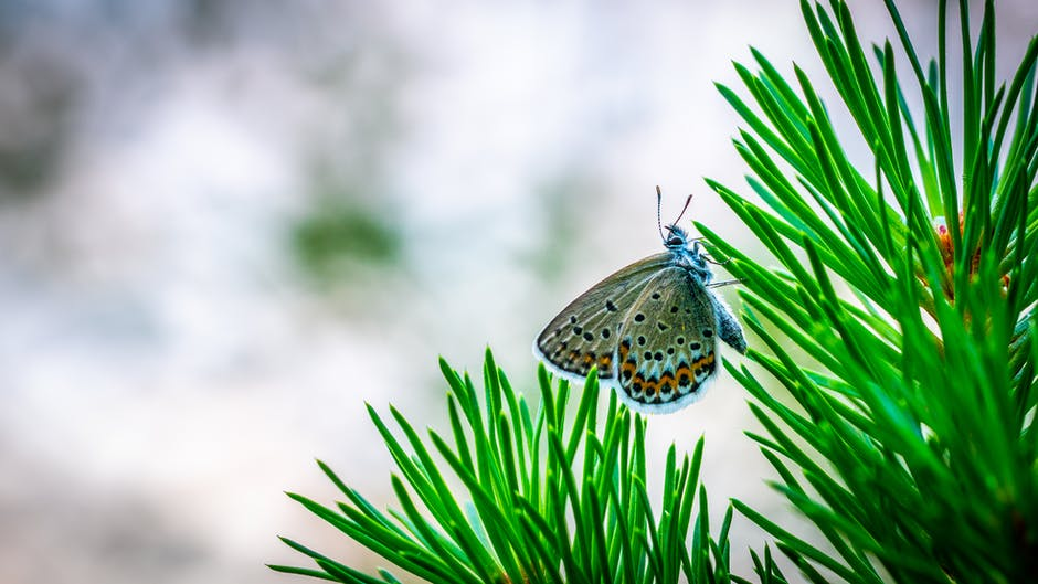 Common blue butterfly perching on pine tree in selective focus photography