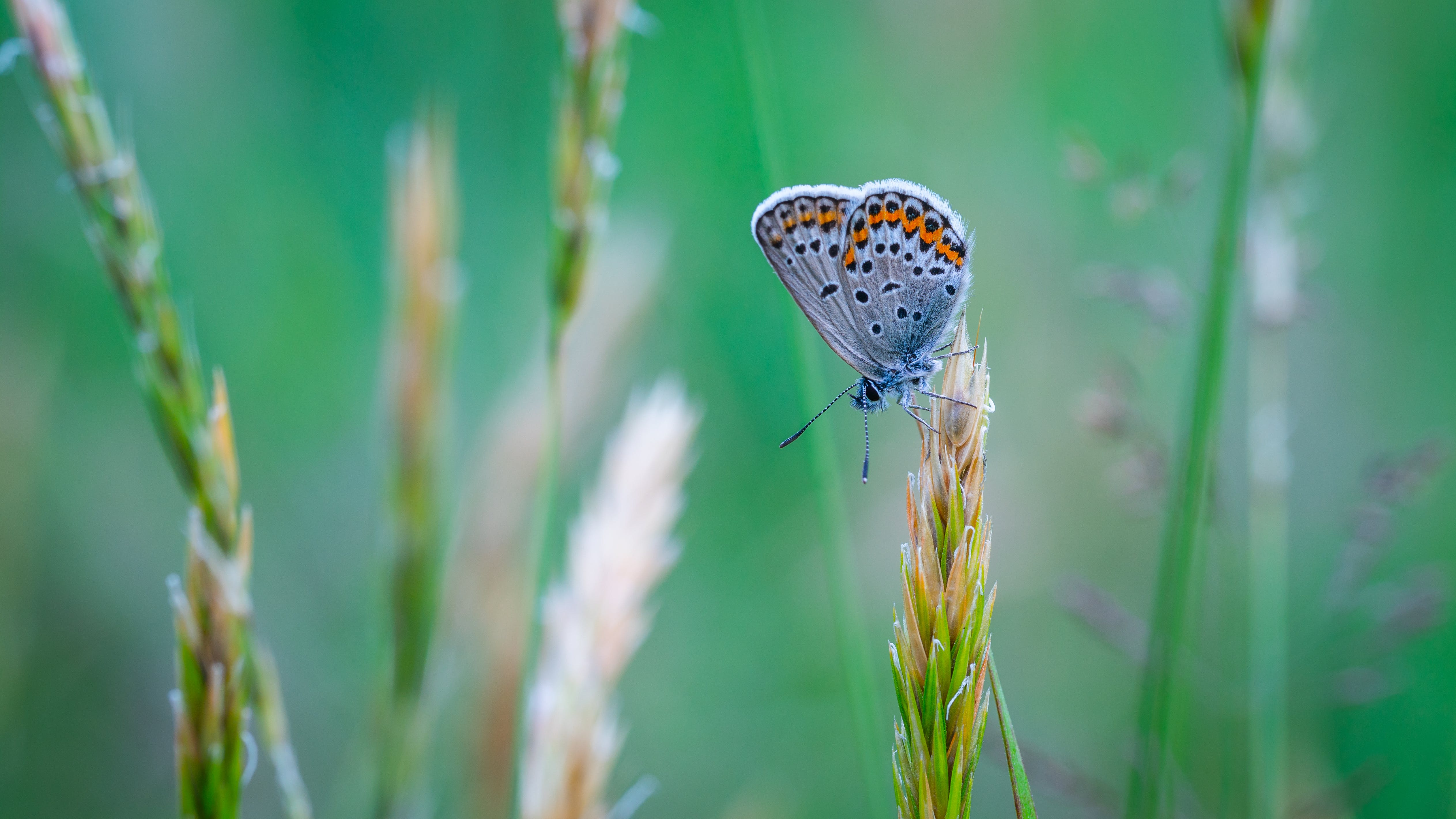 Common Blue Butterfly Perched On Grass Close-up Photo