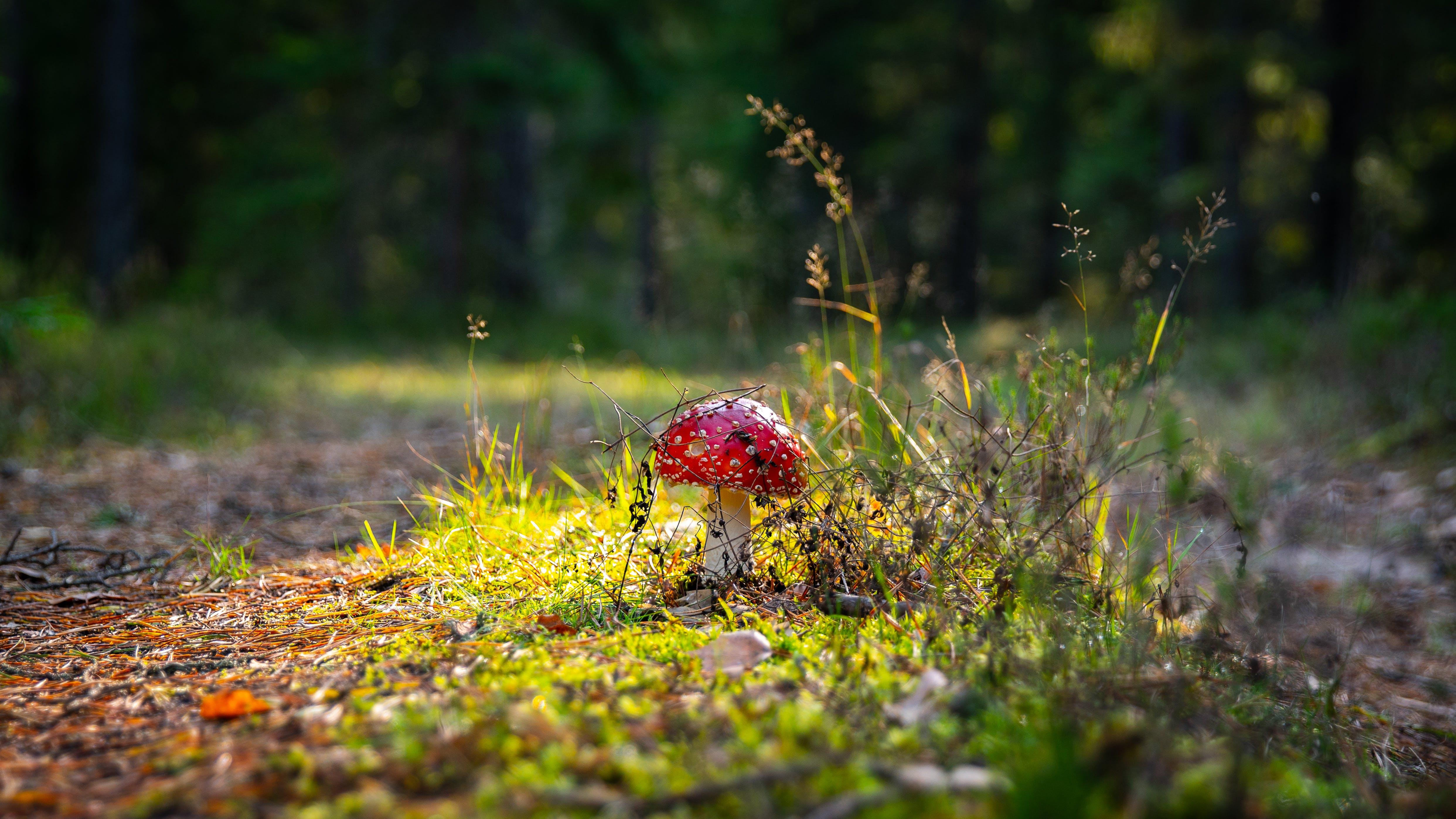 Photo of Red Mushroom