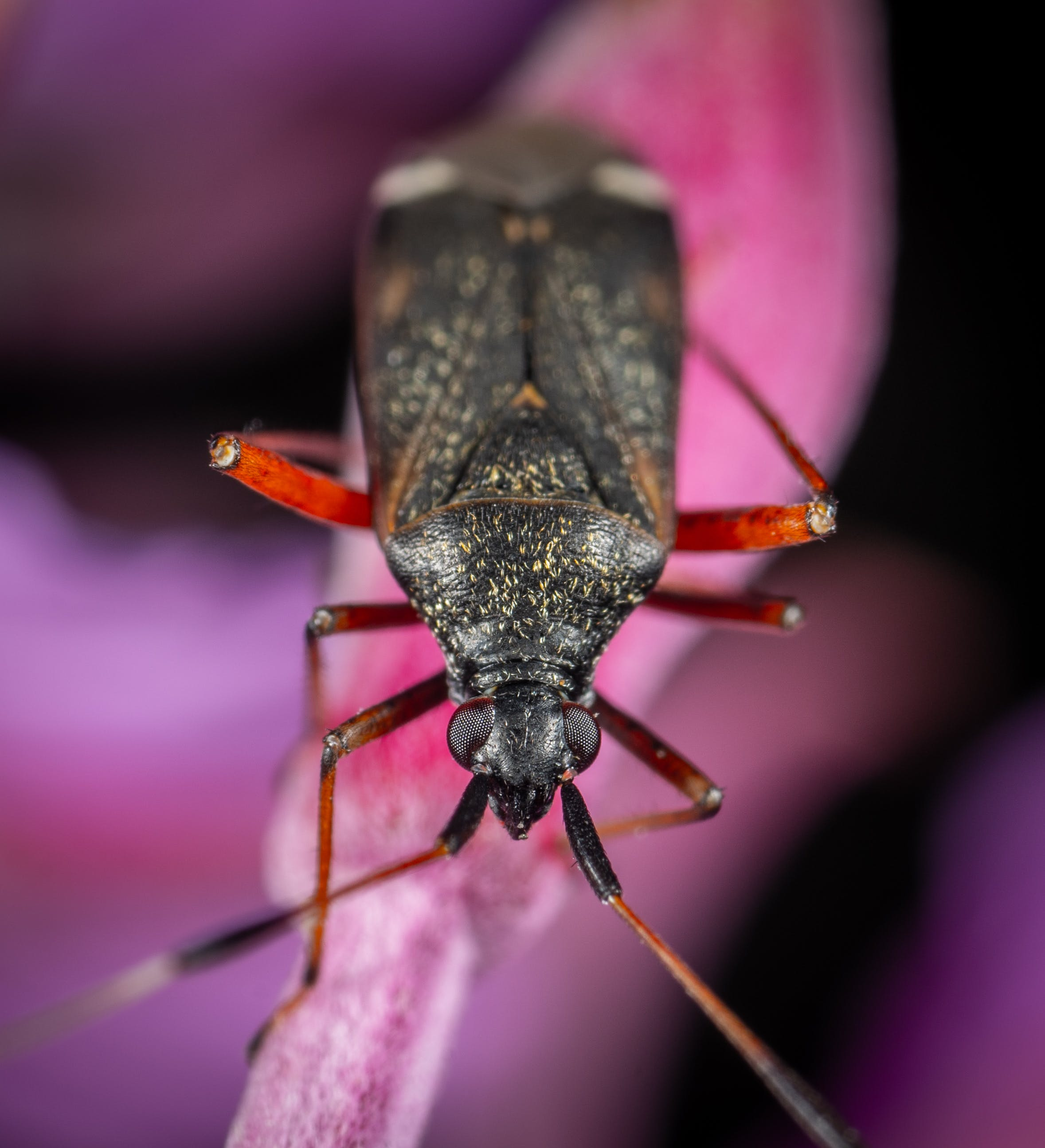 Black Bug in Macro Photography