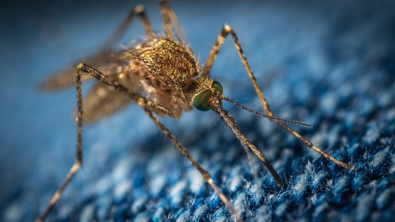 Macro Photo of a Brown Mosquito