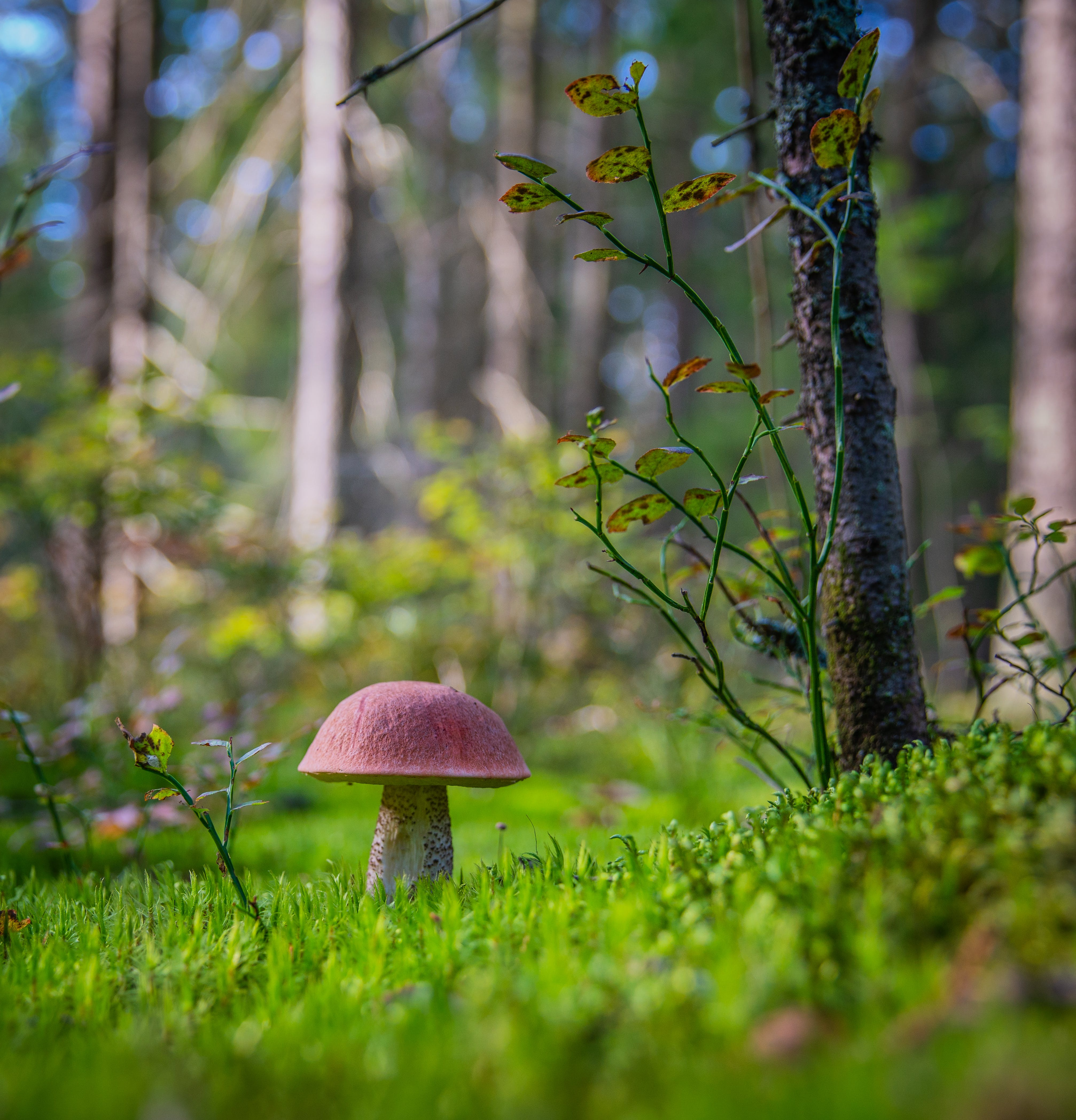Red Mushroom on Grass Field Selective Focus Photography