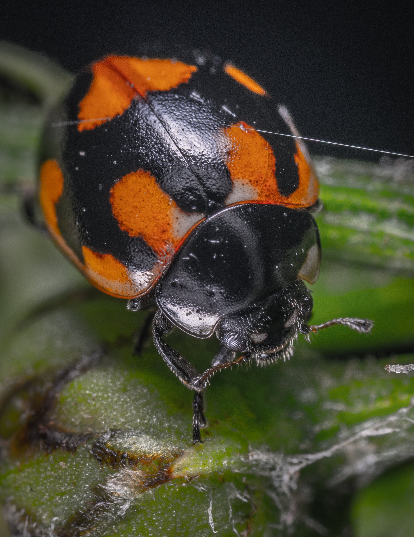 Black and Orange Beetle