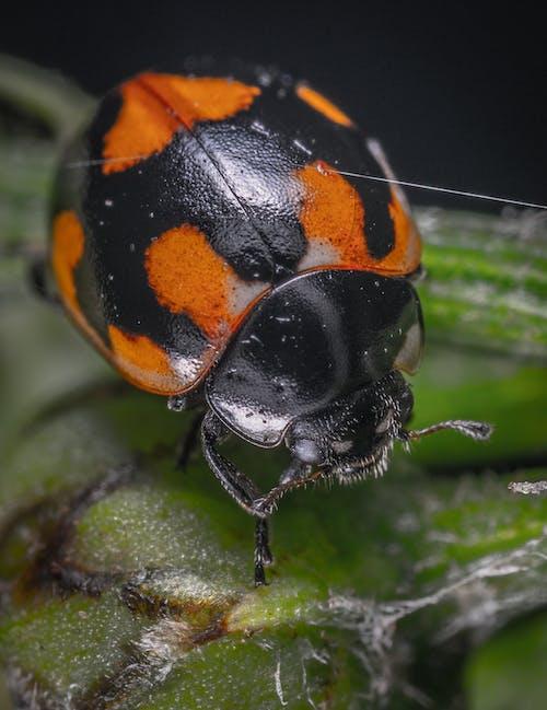 Безкоштовне стокове фото на тему «Beetle, Безхребетні, комаха, макрофотографія»