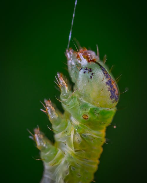 Foto d'estoc gratuïta de concentrar-se, desenfocament, entomologia, eruga