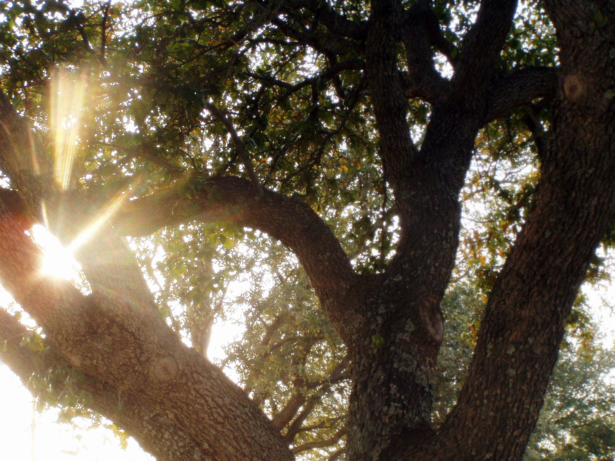 Free stock photo of afternoon sun, branches, lens flare, sun