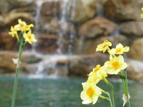 Free stock photo of spring, waterfall, blooming, daffodils