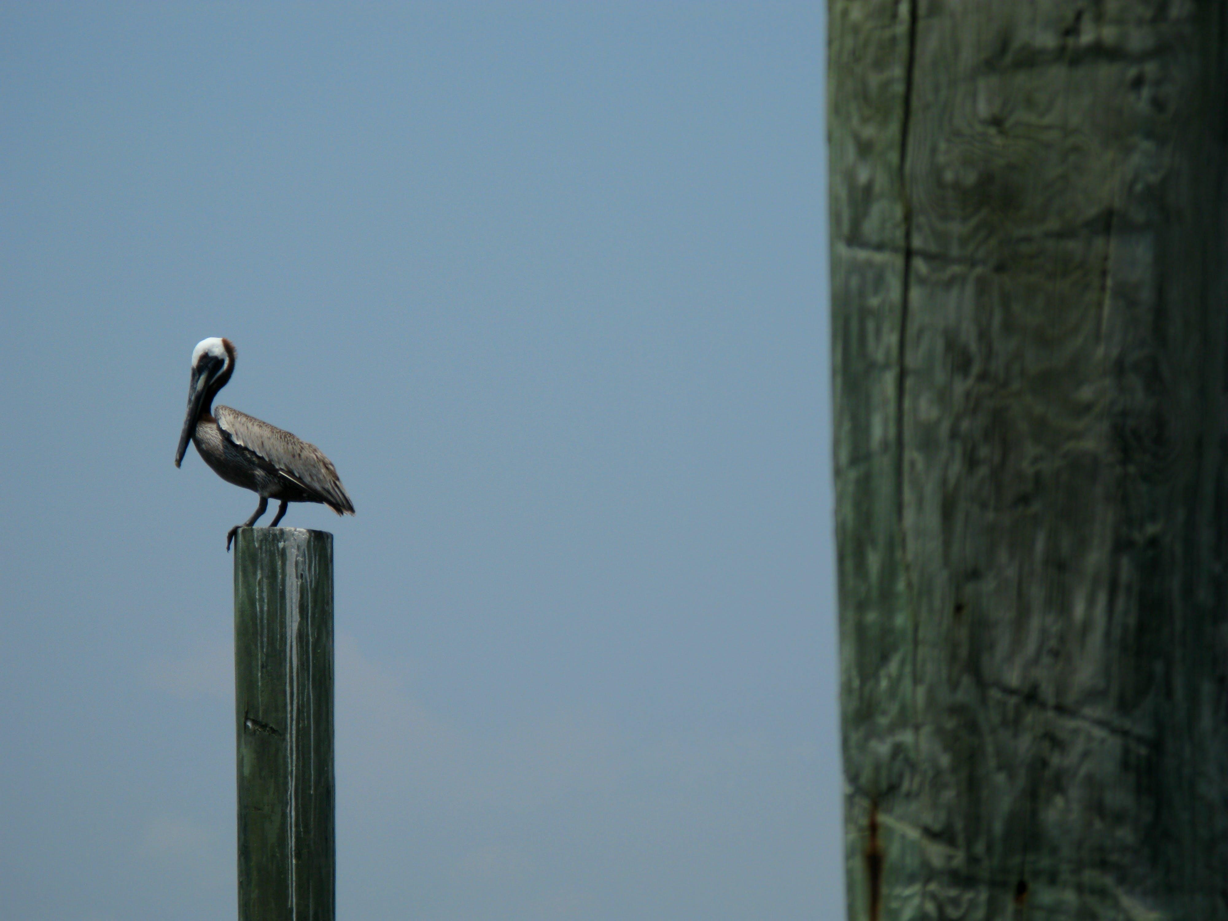 Free stock photo of brown pelican, carolina coast, coast, pelican