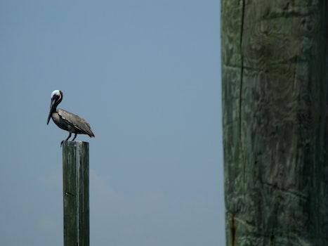 Free stock photo of pelican, coast, brown pelican, carolina coast