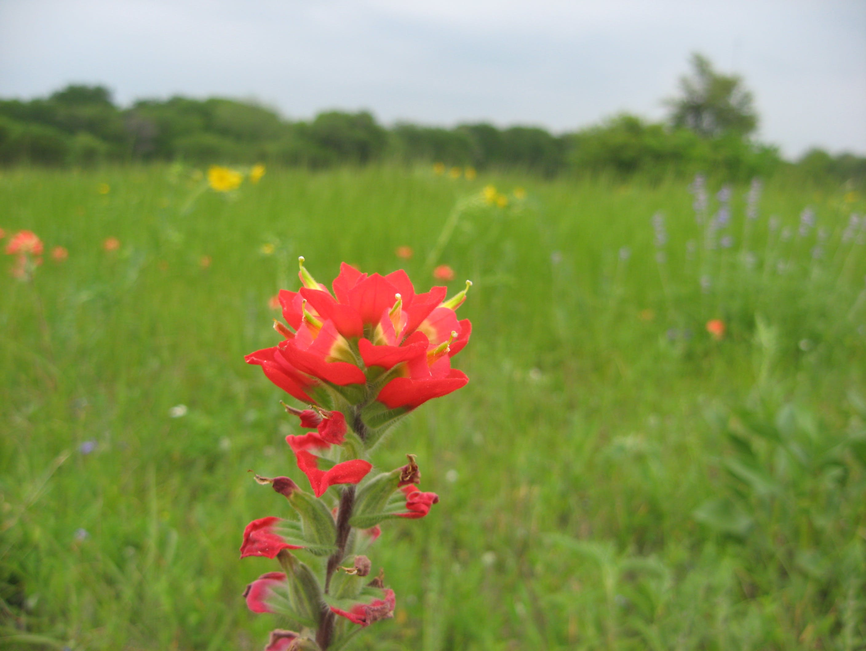 Free stock photo of cedar hill, field, flowers, red