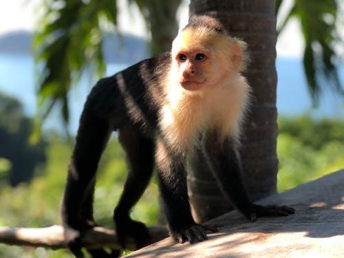 Gratis arkivbilde med ape, capuccin ape, cariblanco, chango