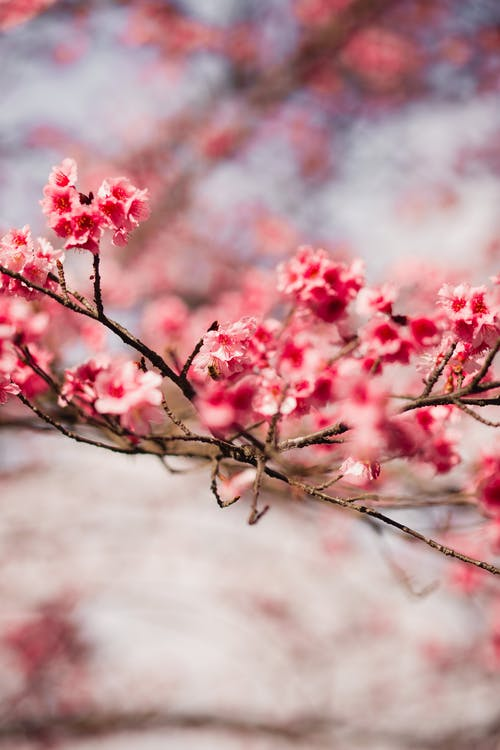 Shallow Focus Photography Of Cherry Blossom